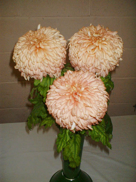 Chrysanthemum Raymond E Parry